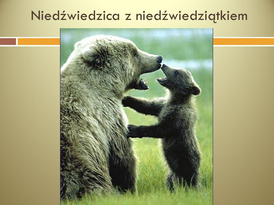 Niedźwiedzica z niedźwiedziątkiem