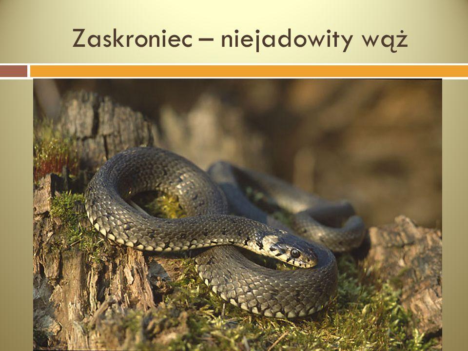 Zaskroniec – niejadowity wąż
