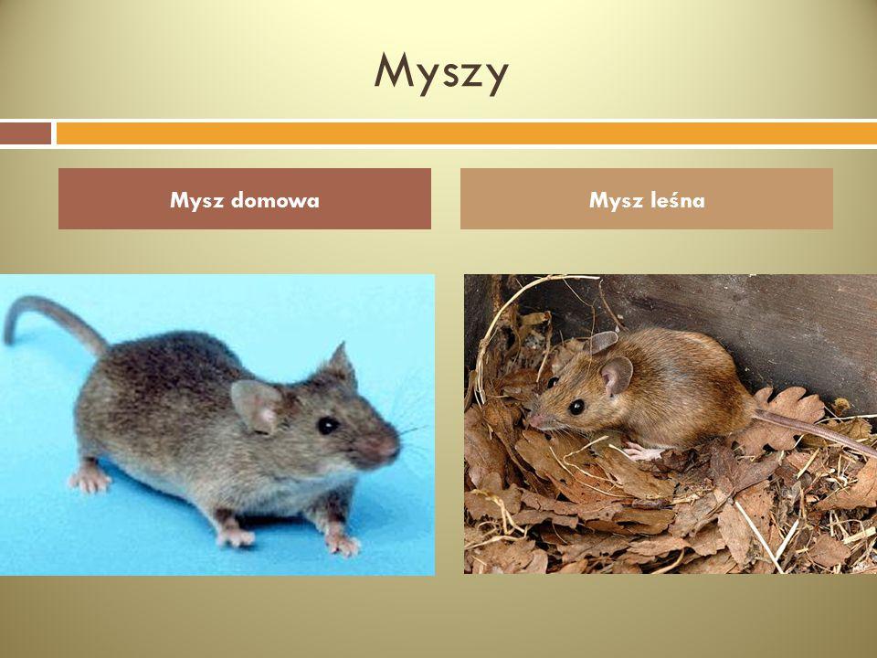Myszy Mysz domowa Mysz leśna