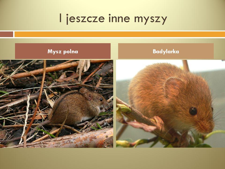 I jeszcze inne myszy Mysz polna Badylarka
