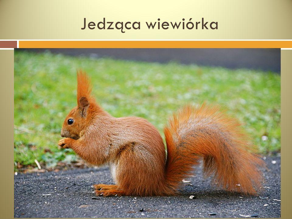 Jedząca wiewiórka
