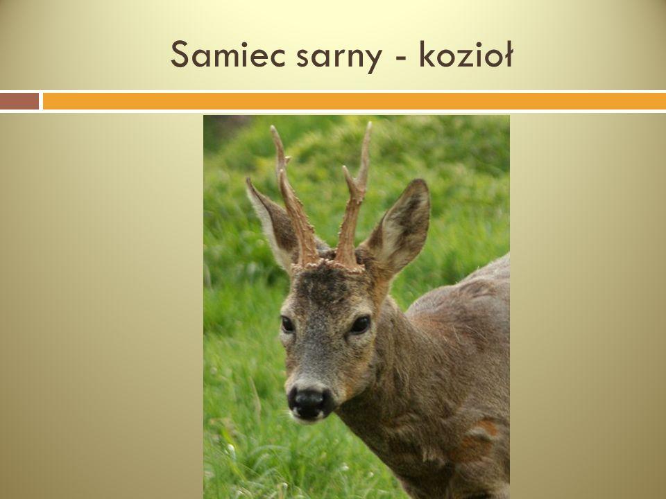 Samiec sarny - kozioł