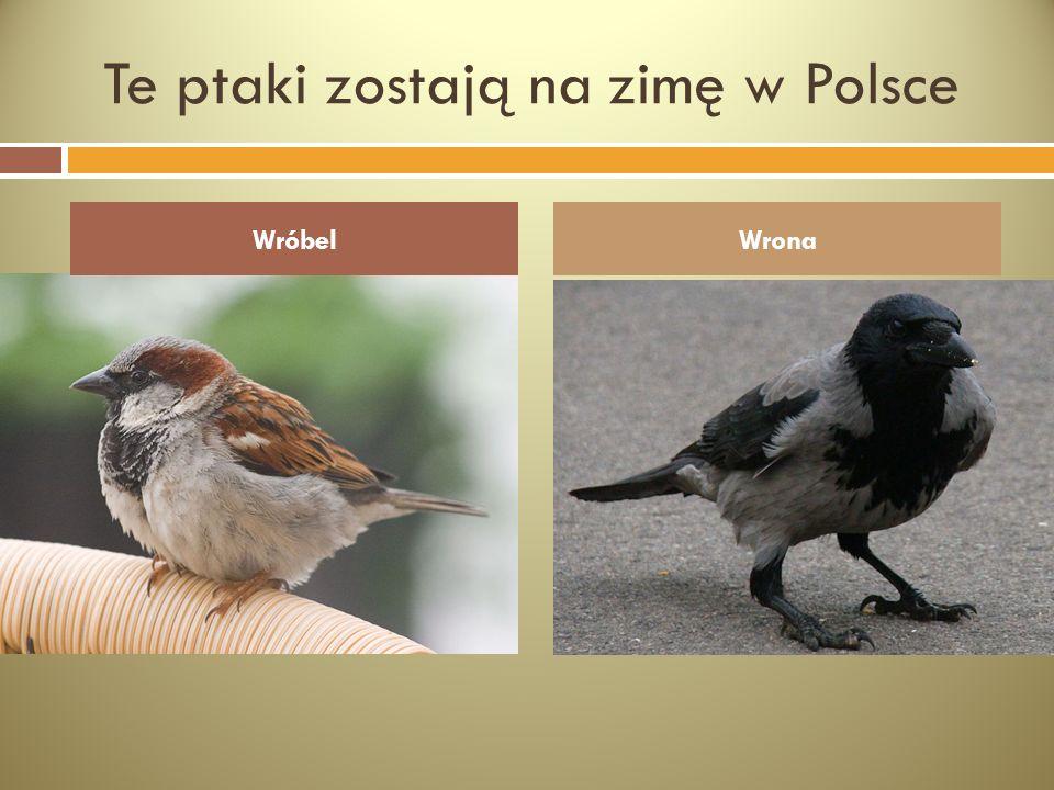 Te ptaki zostają na zimę w Polsce