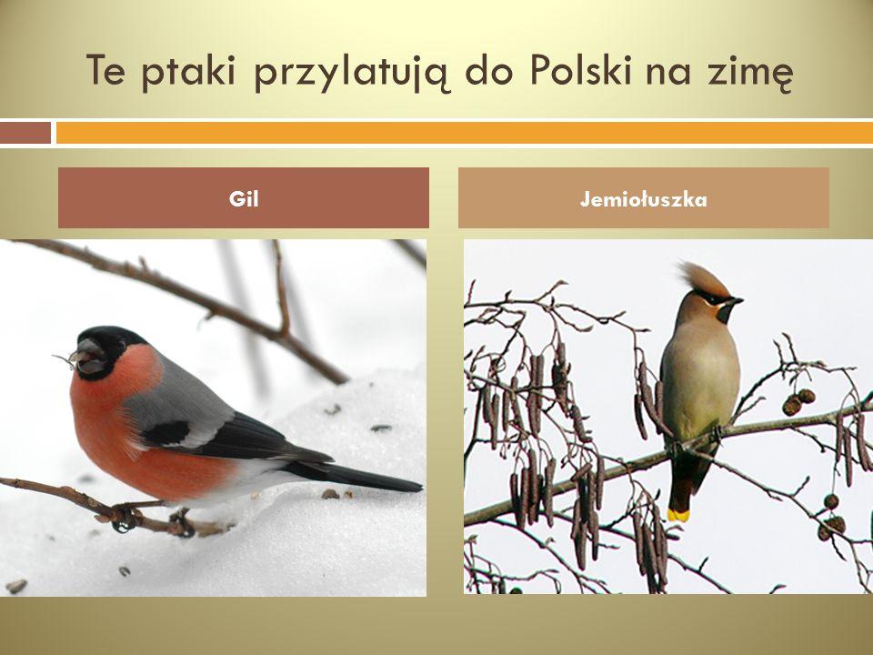 Te ptaki przylatują do Polski na zimę