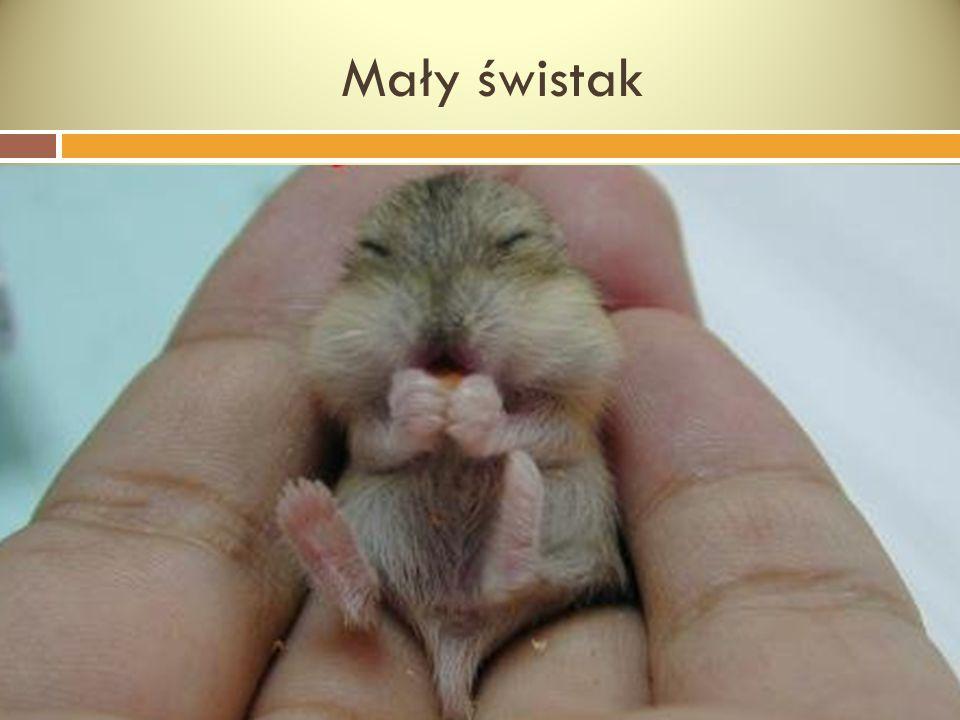 Mały świstak