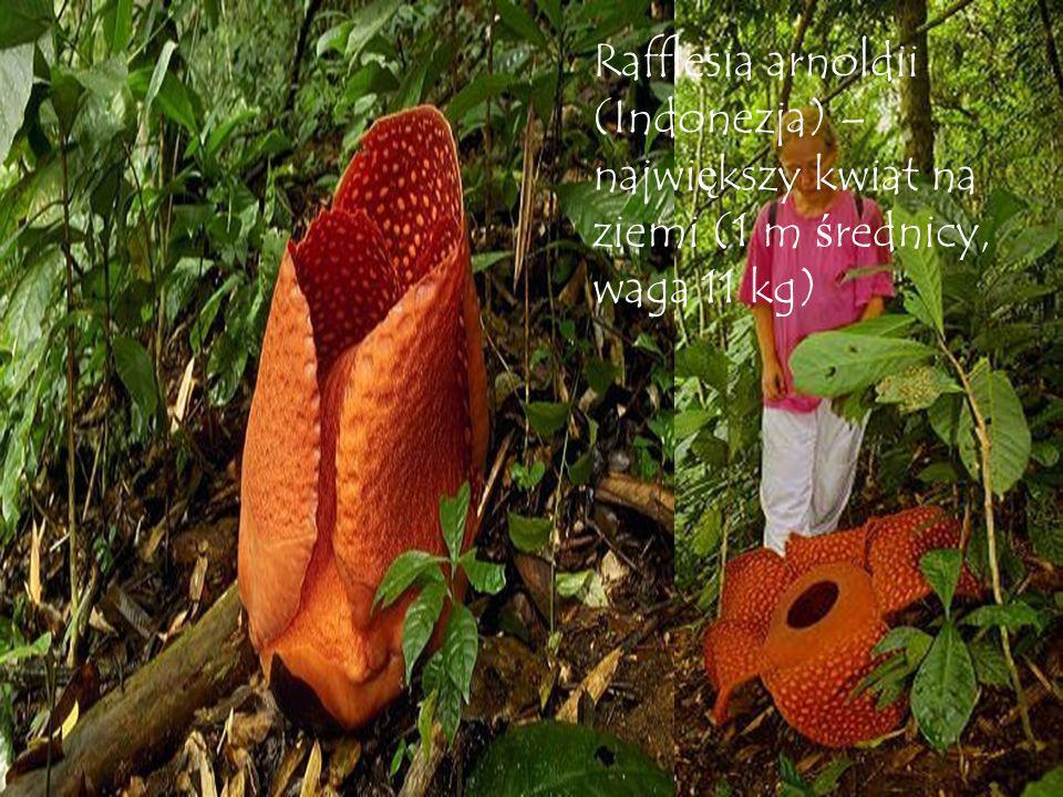 Rafflesia arnoldii (Indonezja) – największy kwiat na ziemi (1 m średnicy, waga 11 kg)