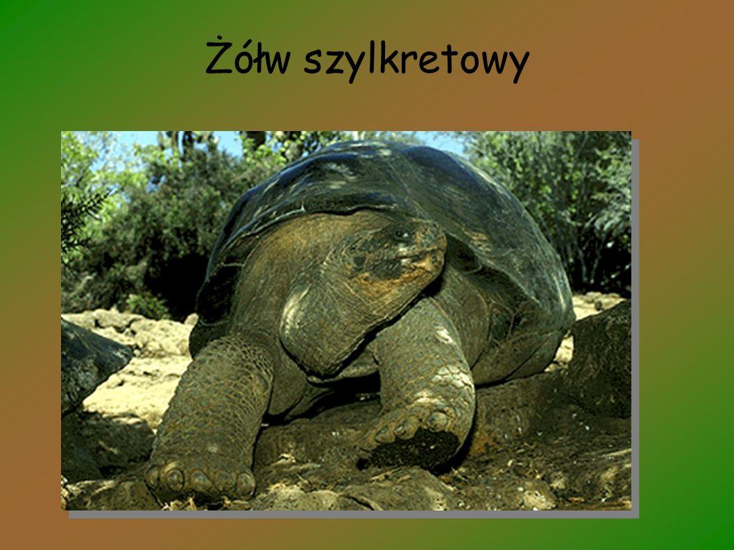Żółw szylkretowy