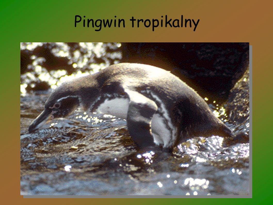 Pingwin tropikalny