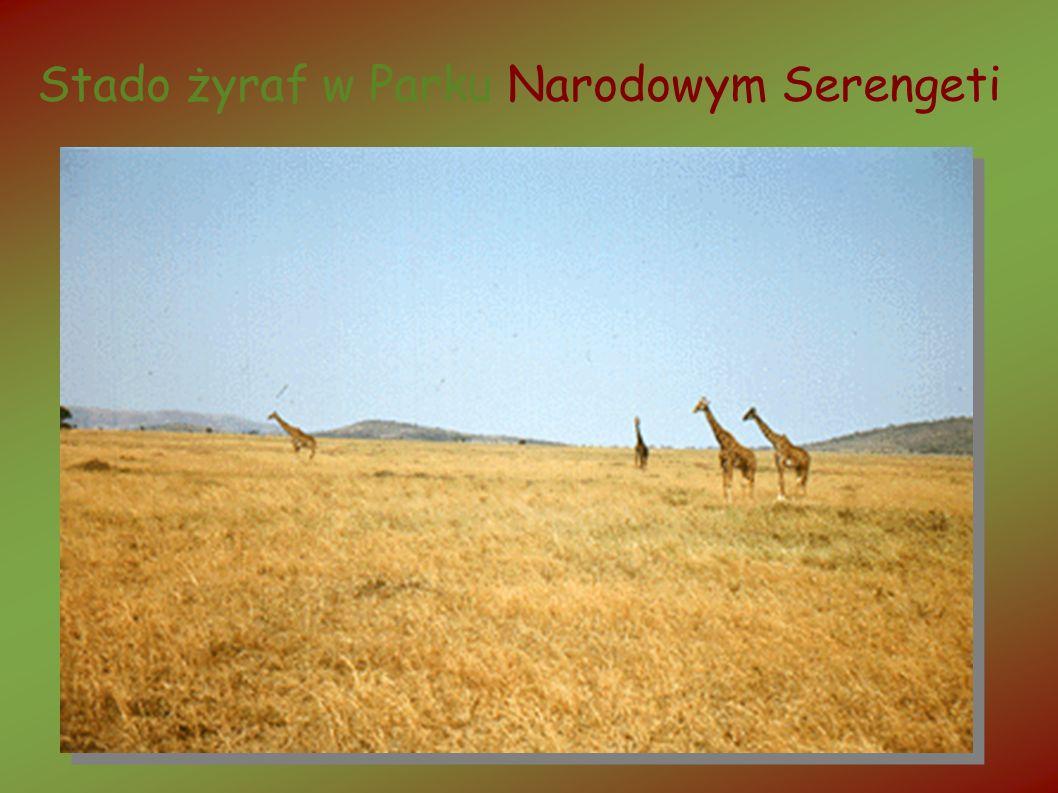 Stado żyraf w Parku Narodowym Serengeti