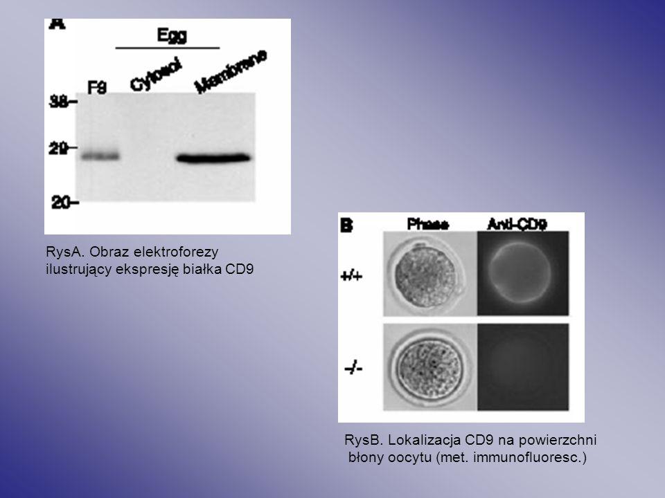 RysA. Obraz elektroforezy ilustrujący ekspresję białka CD9