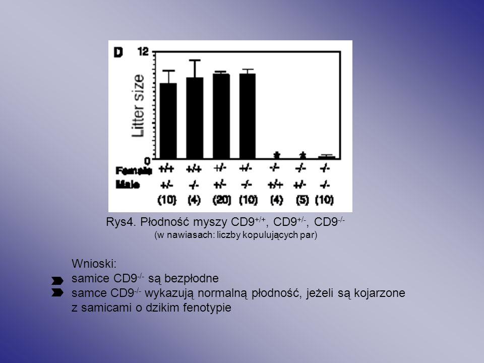 Rys4. Płodność myszy CD9+/+, CD9+/-, CD9-/-