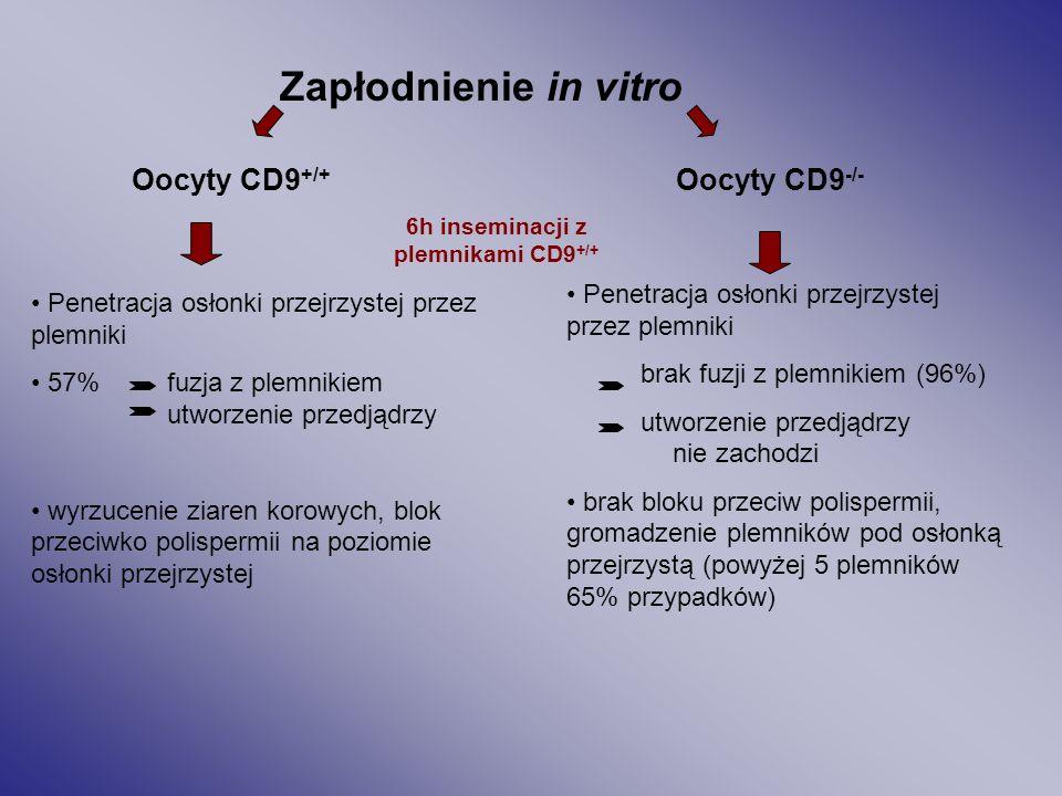 6h inseminacji z plemnikami CD9+/+