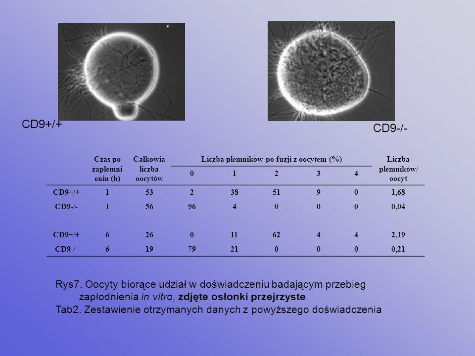 CD9+/+ CD9-/- Czas po zaplemnieniu (h) Całkowia liczba oocytów. Liczba plemników po fuzji z oocytem (%)