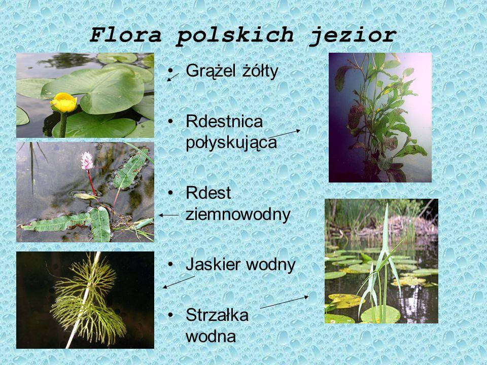 Flora polskich jezior Grążel żółty Rdestnica połyskująca
