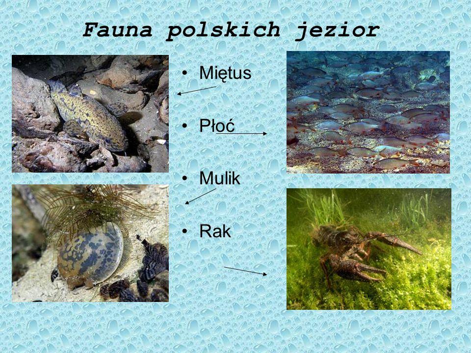 Fauna polskich jezior Miętus Płoć Mulik Rak