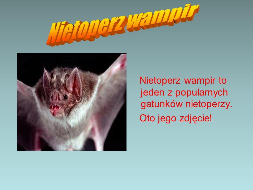 Nietoperz wampir Nietoperz wampir to jeden z popularnych gatunków nietoperzy. Oto jego zdjęcie!