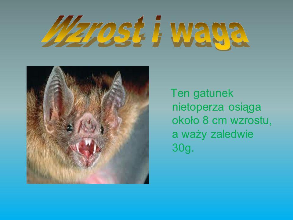 Wzrost i waga Ten gatunek nietoperza osiąga około 8 cm wzrostu, a waży zaledwie 30g.