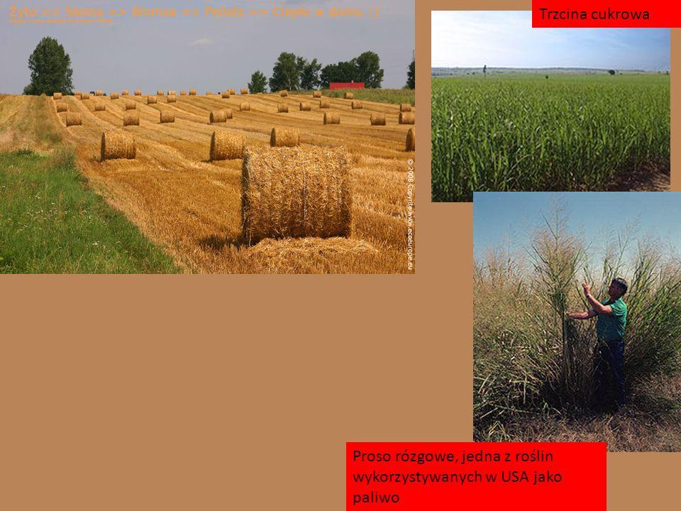 Trzcina cukrowa Proso rózgowe, jedna z roślin wykorzystywanych w USA jako paliwo