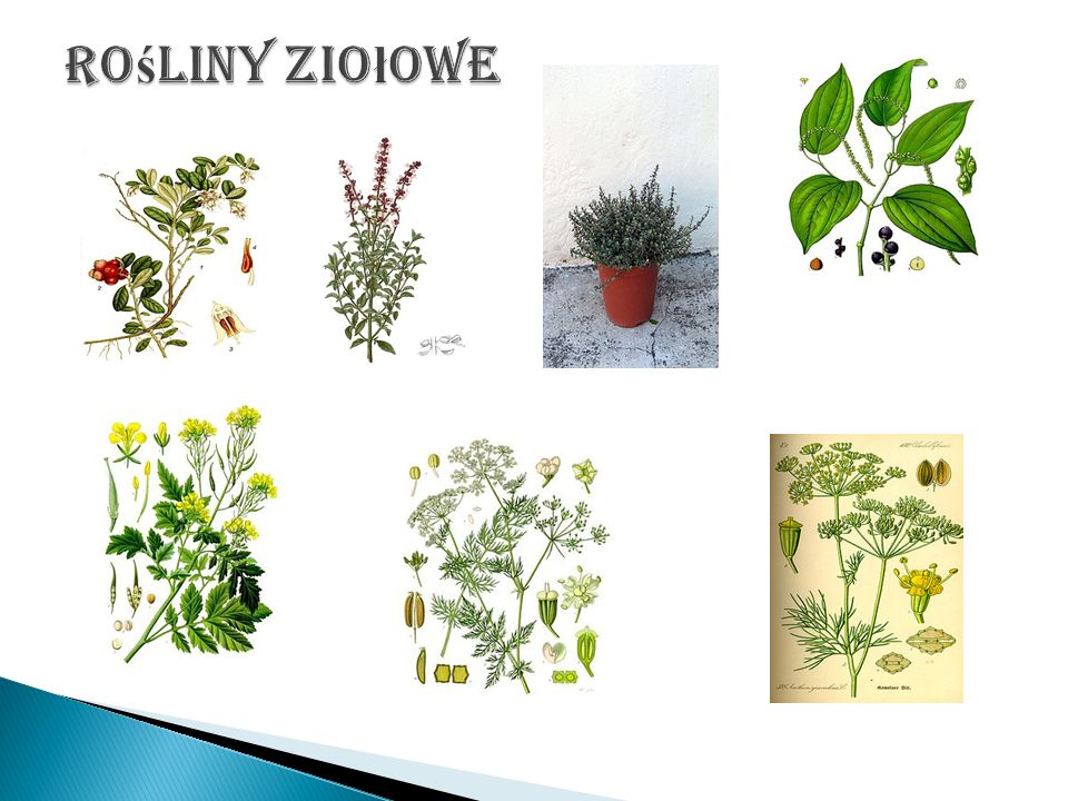 Rośliny ziołowe