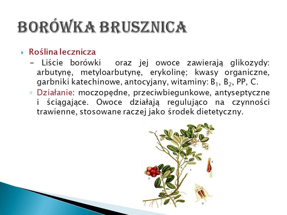 Borówka brusznica Roślina lecznicza