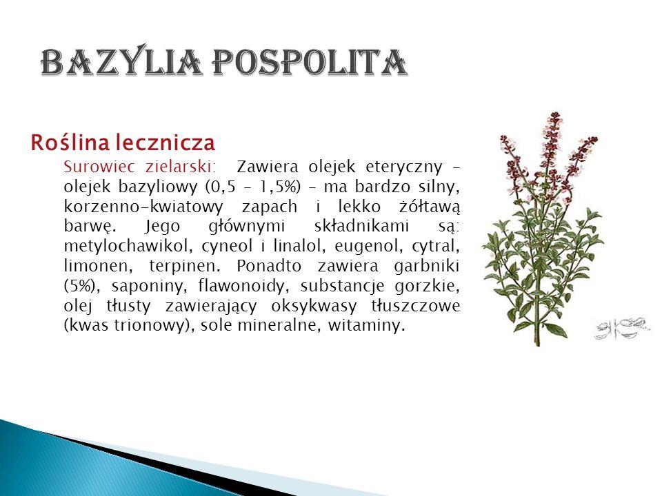 Bazylia pospolita Roślina lecznicza