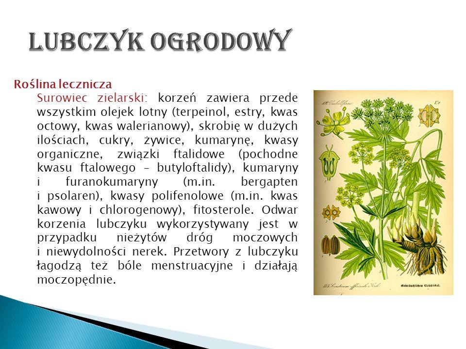 Lubczyk ogrodowy Roślina lecznicza