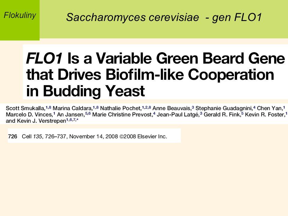Saccharomyces cerevisiae - gen FLO1