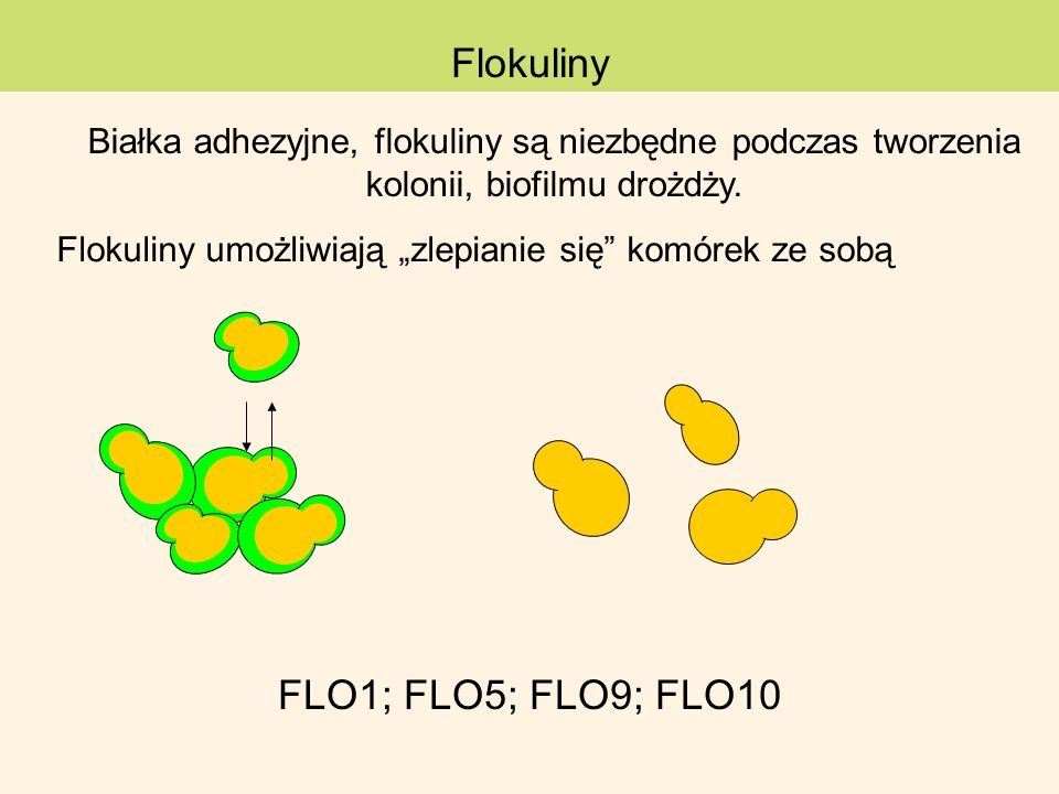 Flokuliny FLO1; FLO5; FLO9; FLO10
