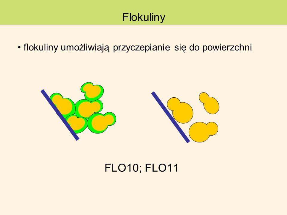Flokulinyflokuliny umożliwiają przyczepianie się do powierzchni.