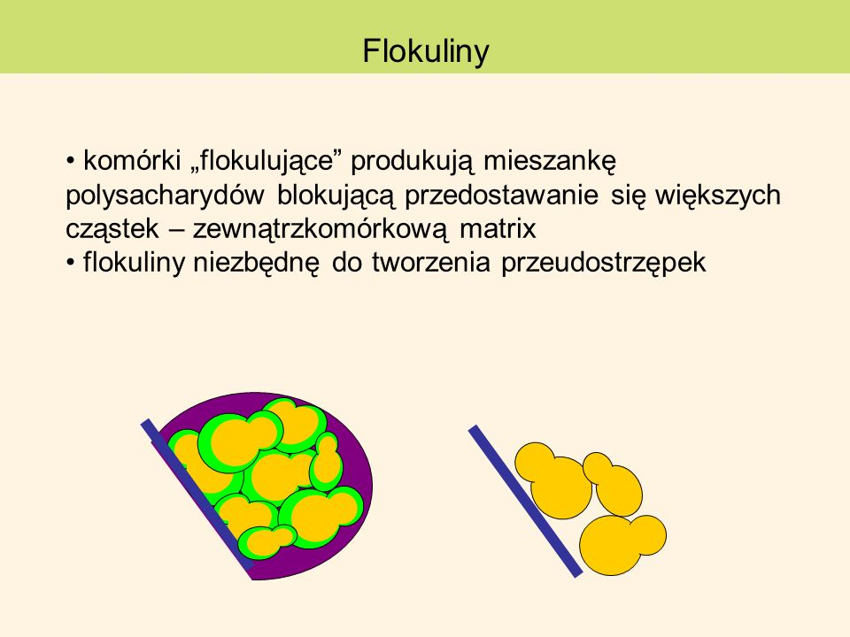 """Flokuliny komórki """"flokulujące produkują mieszankę polysacharydów blokującą przedostawanie się większych cząstek – zewnątrzkomórkową matrix."""