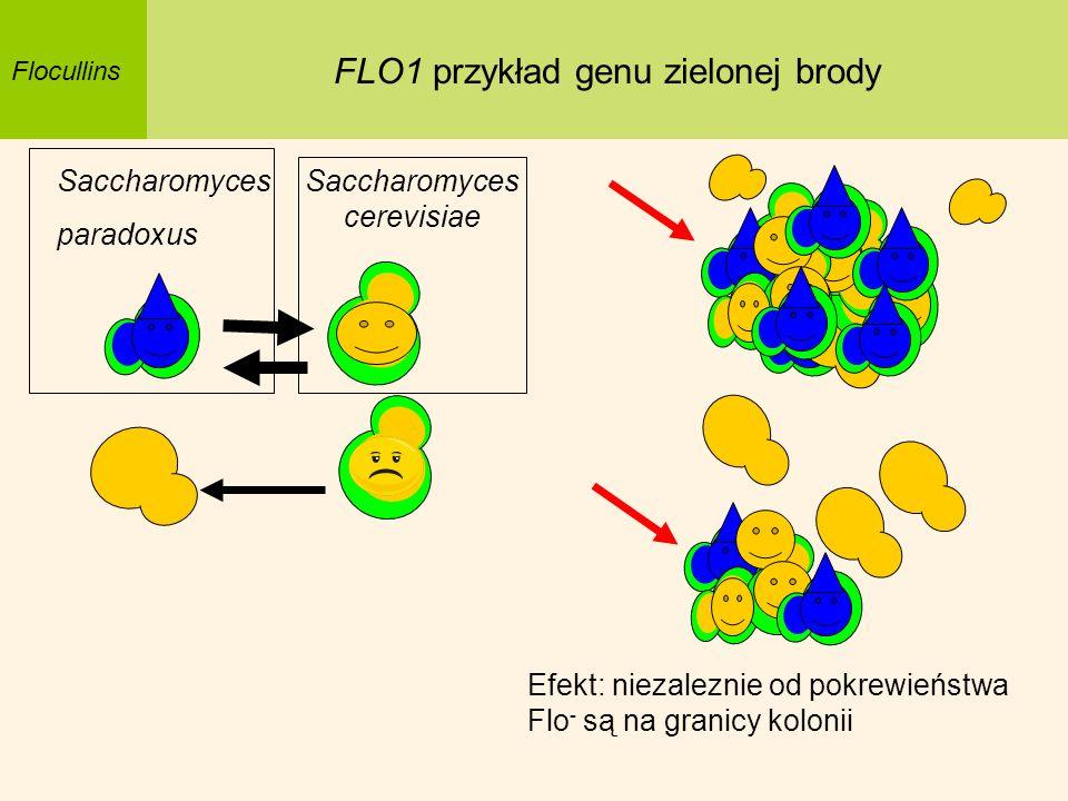 FLO1 przykład genu zielonej brody
