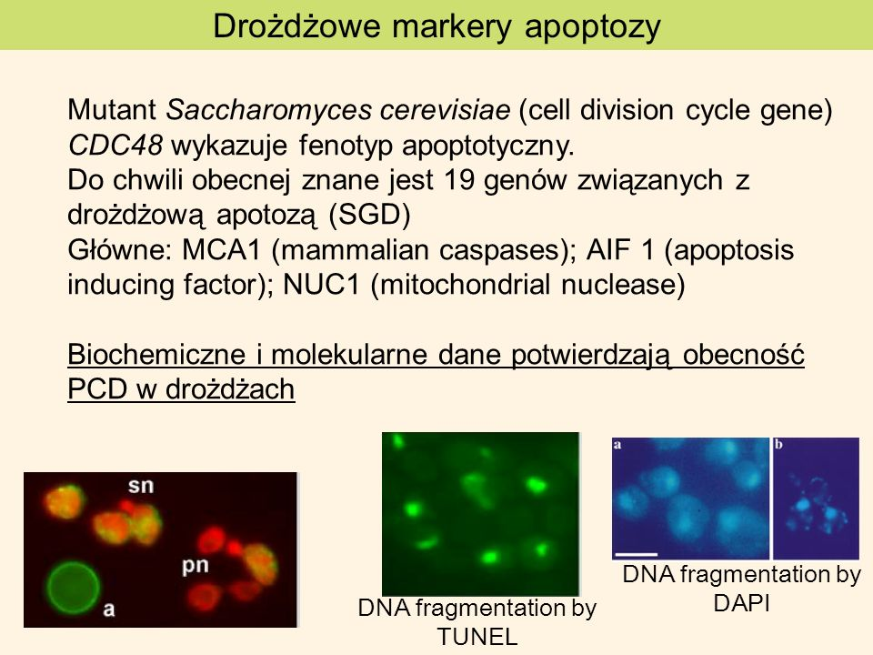Drożdżowe markery apoptozy