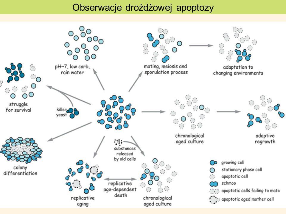 Obserwacje drożdżowej apoptozy