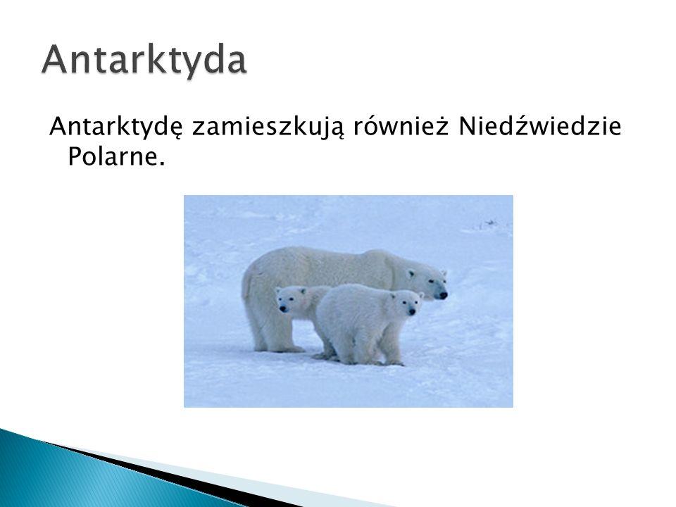 Antarktyda Antarktydę zamieszkują również Niedźwiedzie Polarne.