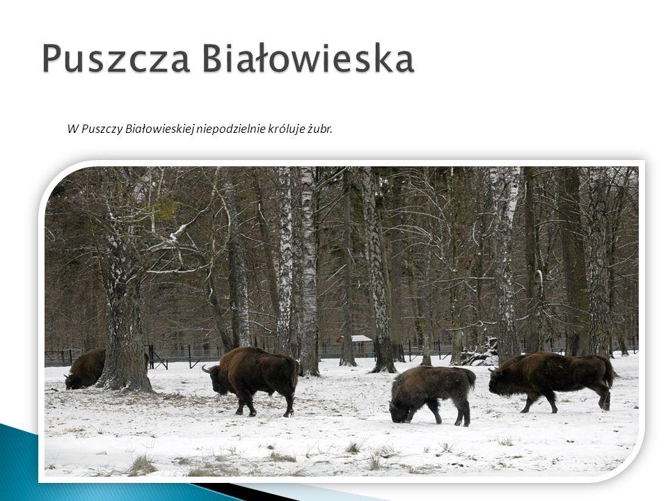 Puszcza Białowieska W Puszczy Białowieskiej niepodzielnie króluje żubr.