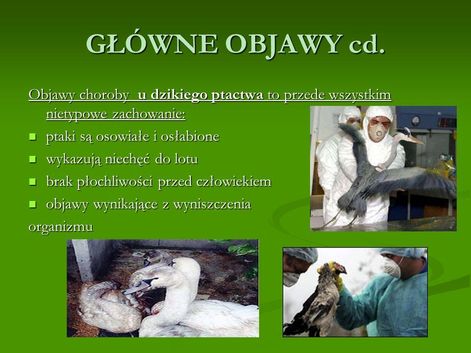 GŁÓWNE OBJAWY cd. Objawy choroby u dzikiego ptactwa to przede wszystkim nietypowe zachowanie: ptaki są osowiałe i osłabione.