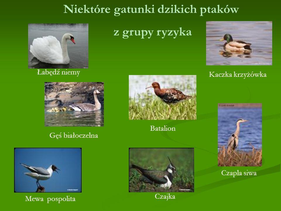 Niektóre gatunki dzikich ptaków