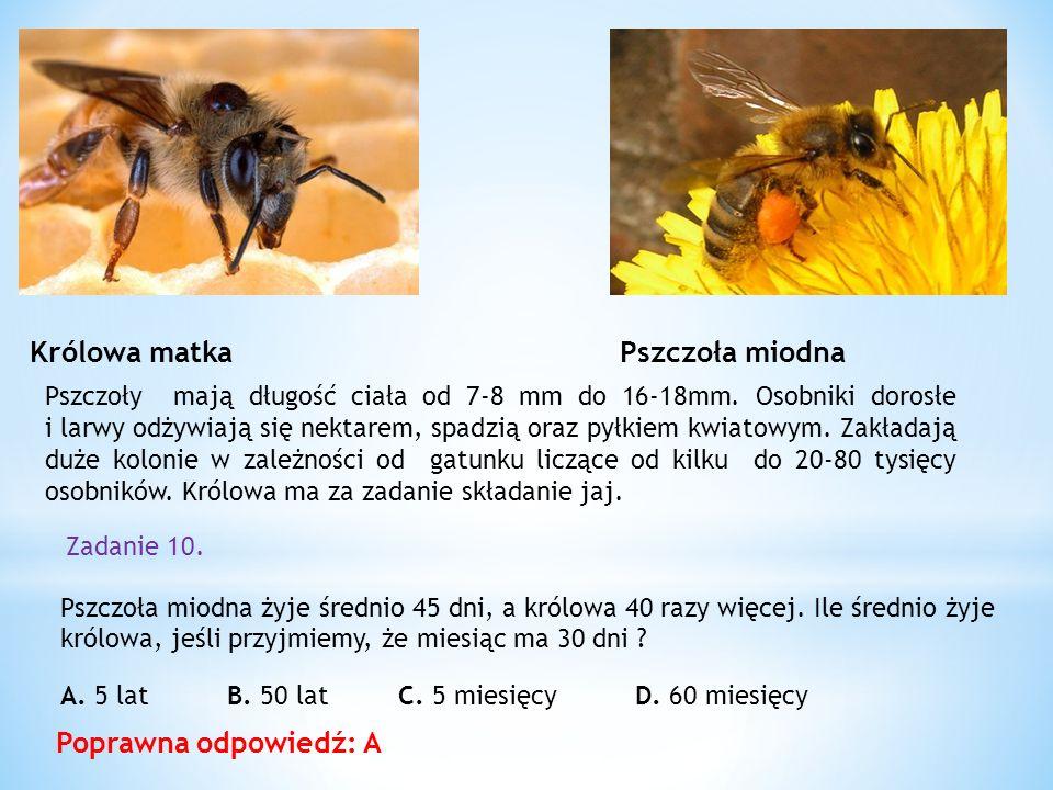 Królowa matka Pszczoła miodna Poprawna odpowiedź: A