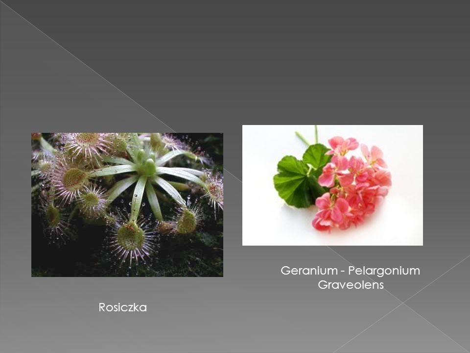 Geranium - Pelargonium Graveolens