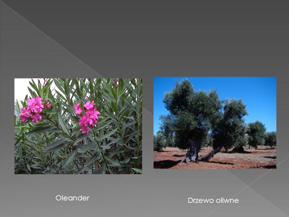 Oleander Drzewo oliwne