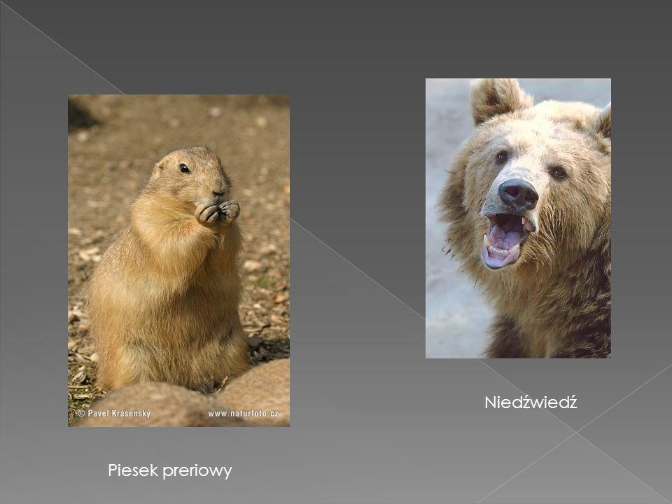 Niedźwiedź Piesek preriowy
