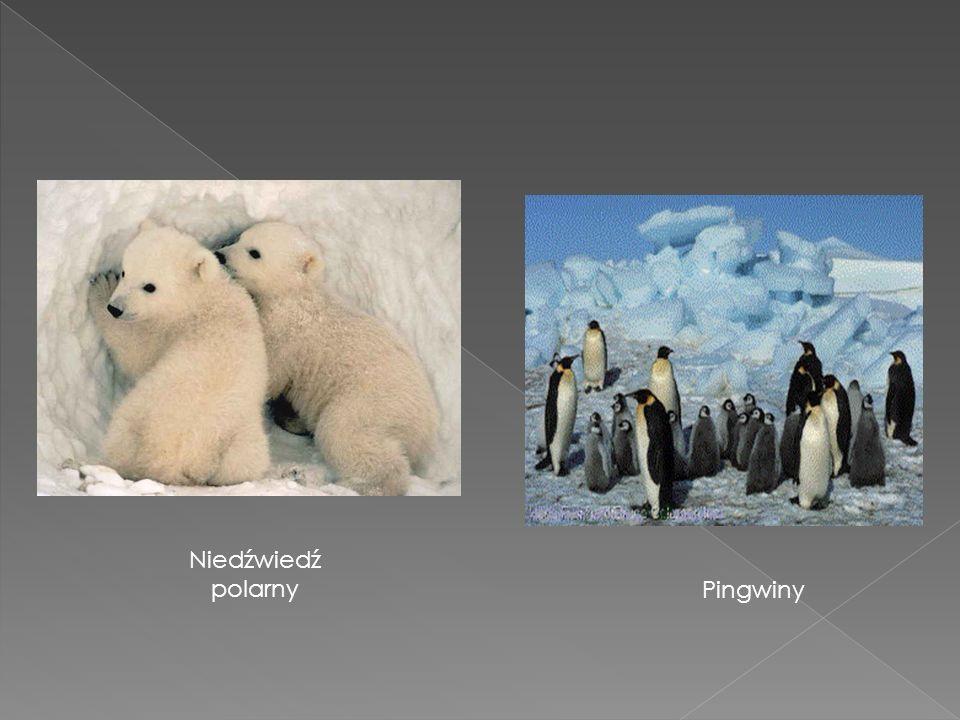 Niedźwiedź polarny Pingwiny