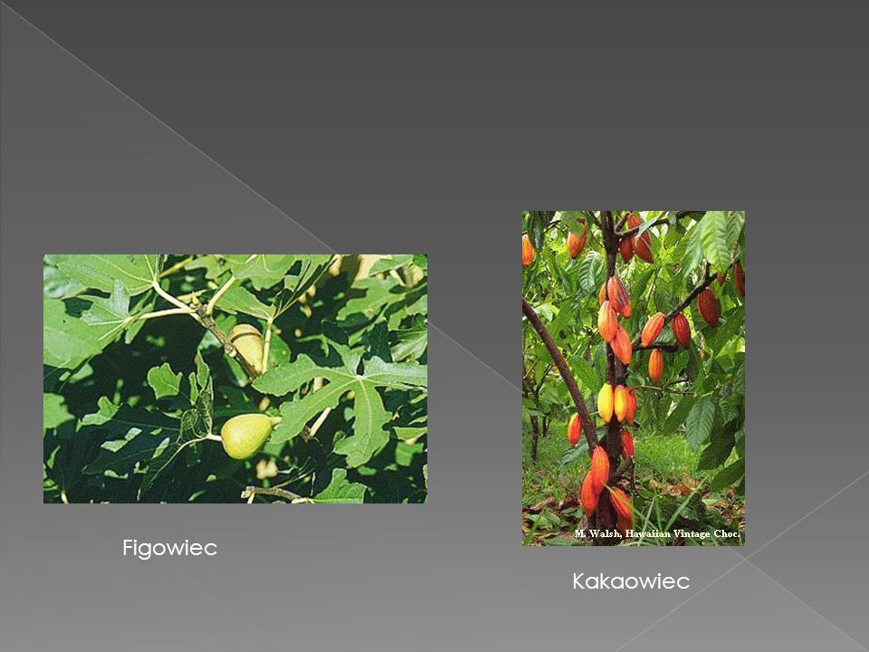 Figowiec Kakaowiec