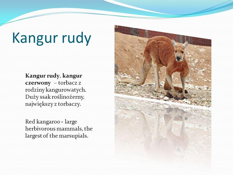 Kangur rudyKangur rudy, kangur czerwony – torbacz z rodziny kangurowatych. Duży ssak roślinożerny, największy z torbaczy.