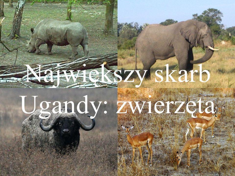 Największy skarb Ugandy: zwierzęta