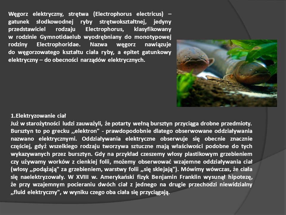Węgorz elektryczny, strętwa (Electrophorus electricus) – gatunek słodkowodnej ryby strętwokształtnej, jedyny przedstawiciel rodzaju Electrophorus, klasyfikowany w rodzinie Gymnotidaelub wyodrębniany do monotypowej rodziny Electrophoridae. Nazwa węgorz nawiązuje do węgorzowatego kształtu ciała ryby, a epitet gatunkowy elektryczny – do obecności narządów elektrycznych.