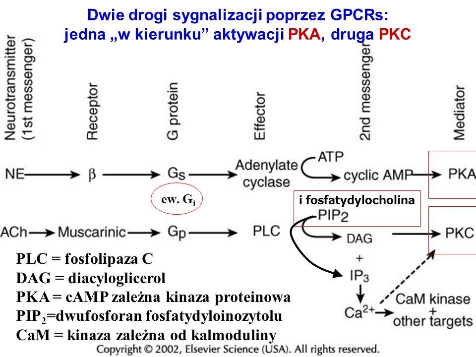 PKA = cAMP zależna kinaza proteinowa