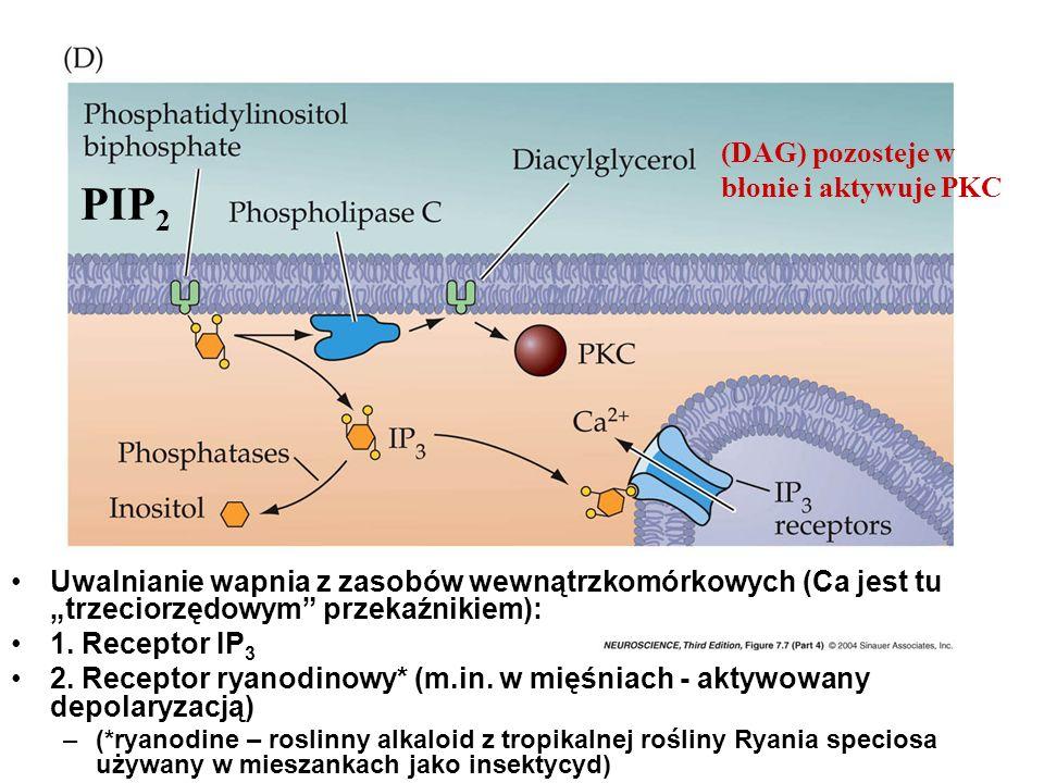 PIP2 (DAG) pozosteje w błonie i aktywuje PKC