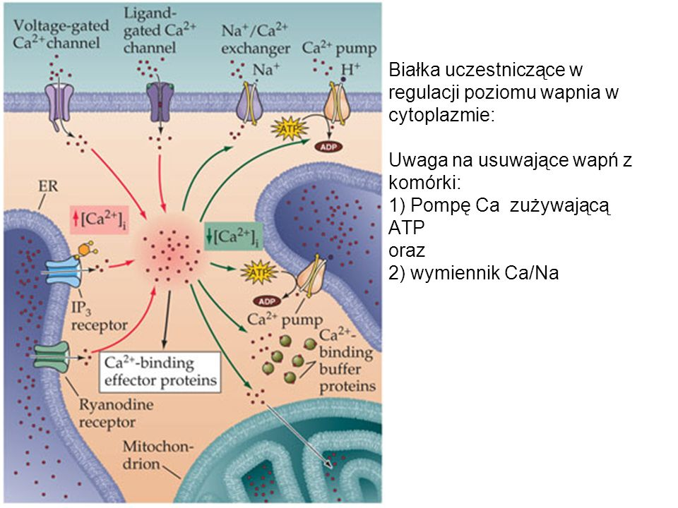 Białka uczestniczące w regulacji poziomu wapnia w cytoplazmie: Uwaga na usuwające wapń z komórki: 1) Pompę Ca zużywającą ATP oraz 2) wymiennik Ca/Na