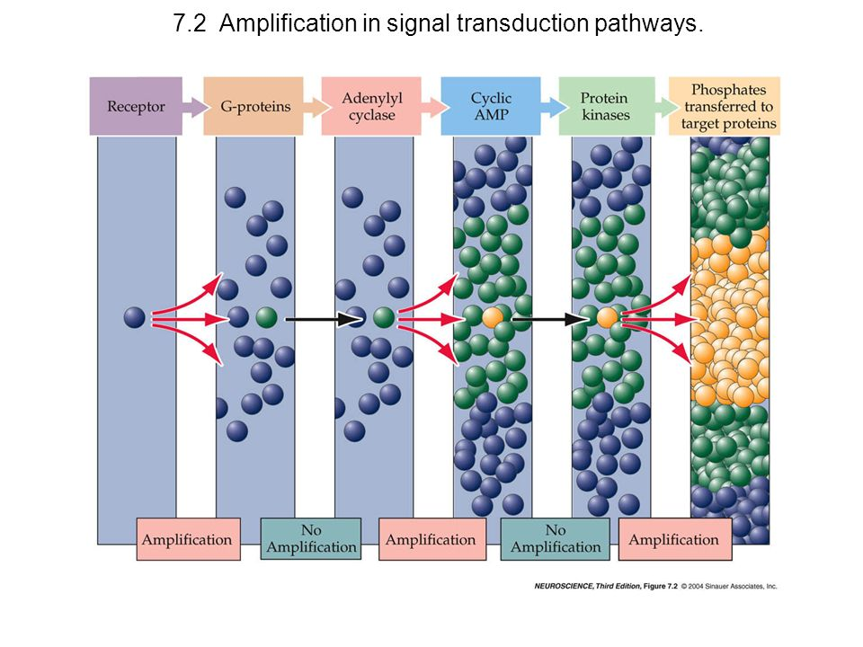 7.2 Amplification in signal transduction pathways.